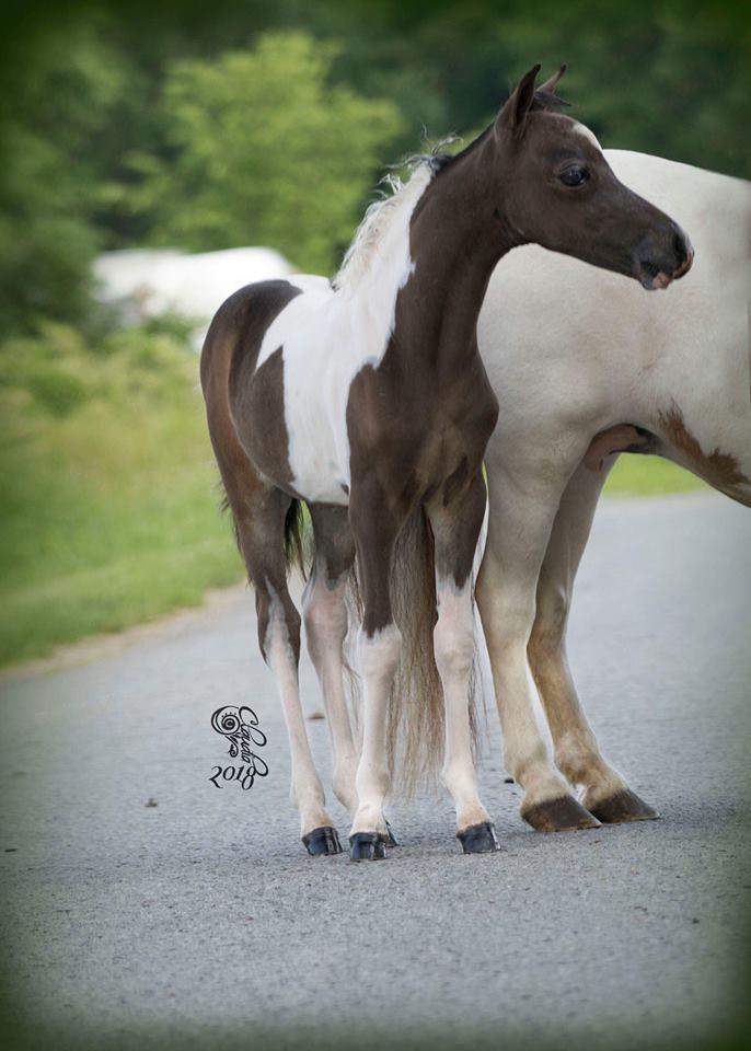 Geldings For Sale | Diva Valley Miniature Horse Farm